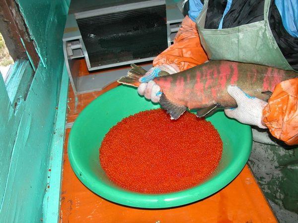 Фотокаталог Заводы по воспроизводству лососевых видов рыб