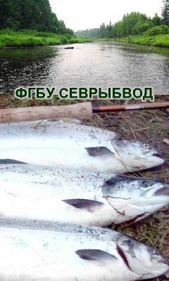 Рыбалка на сёмгу Севрыбвод